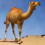 camel standing